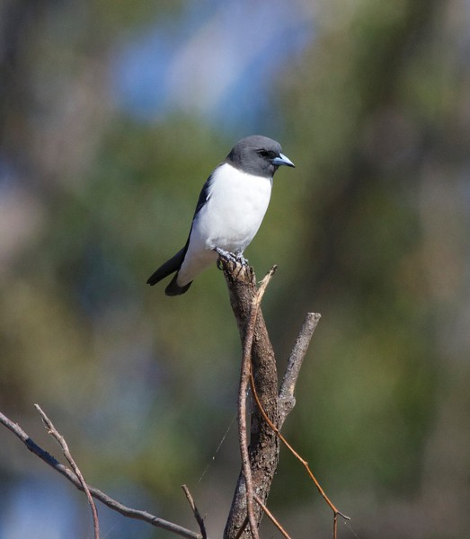 White-breasted woodswallow, Caloundra, Australia