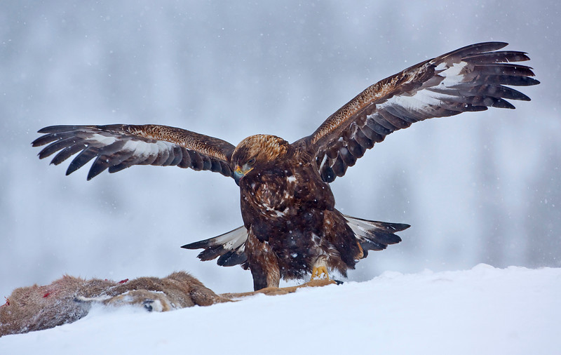 Golden Eagle 27.jpg