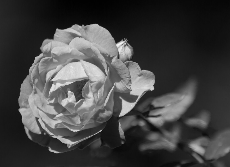 bw rose-.jpg