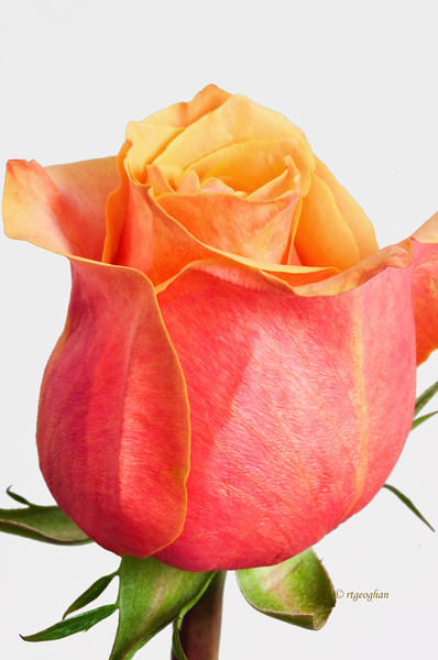 Mar 1_Orange-Yellow Rose_3623.jpg
