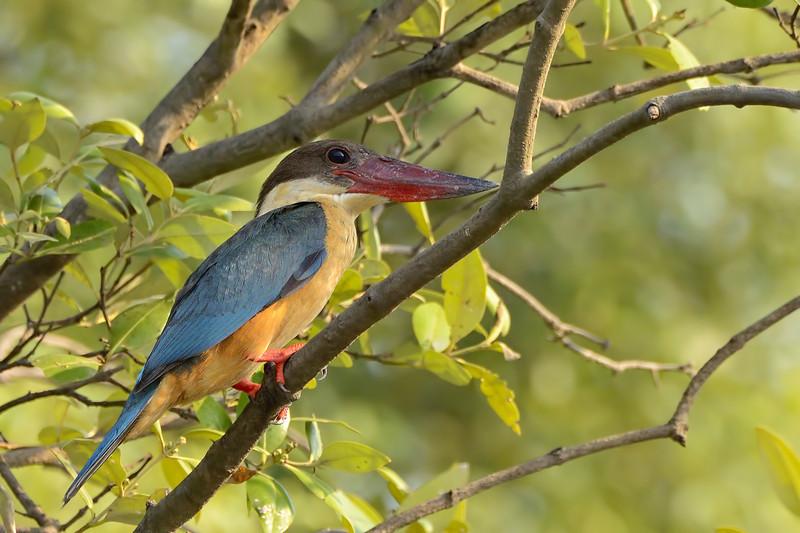 Stork-billed-Kingfisher-01.jpg