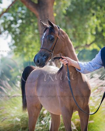 Victoria Arabians