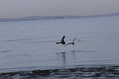 Another incredible morning at Shilshole with Herons!