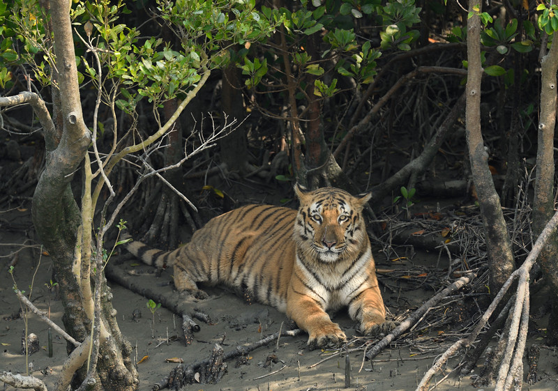 Tiger-mangroves-sundarbans.jpg