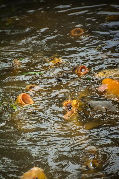 koi fish feeding bridge