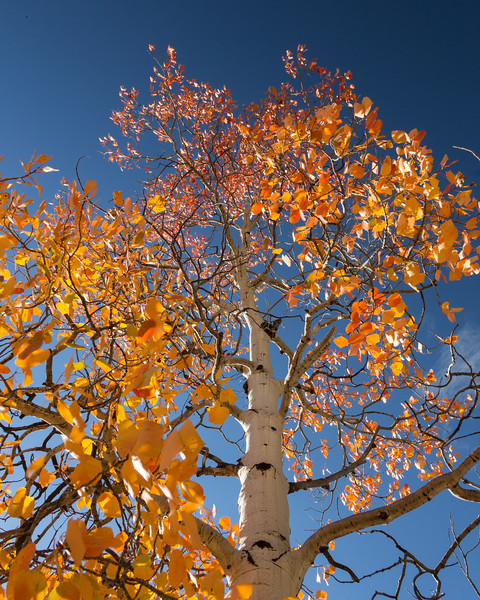 Skyward Aspen on Aspen Ridge.jpg