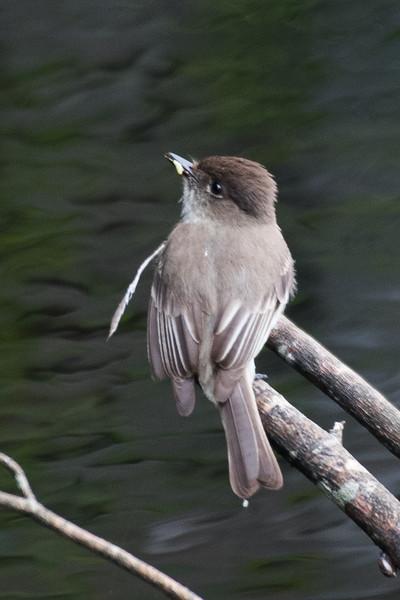 19-Sept North America Birds-1123.JPG