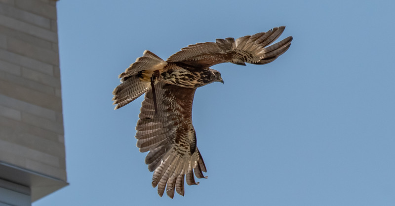 Harris's Hawk flight