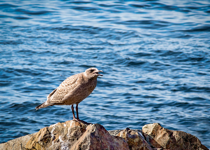 Gull_02_F.jpg