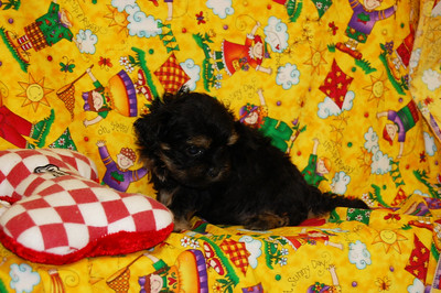 2008 DAISY PUPPIES  Photo and Video Galleries