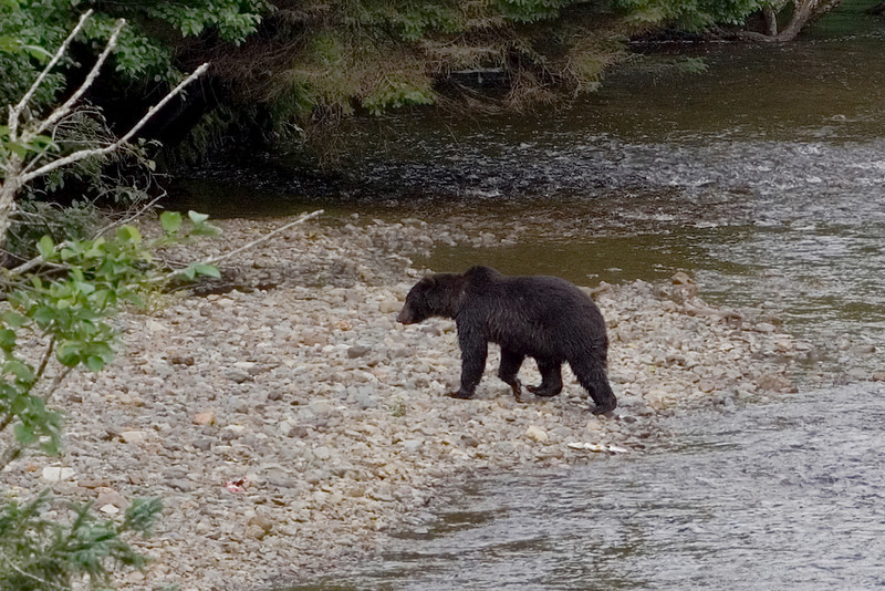 Bear in the River 3.jpg