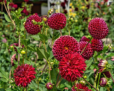 Dahlias, groups of two or more varieties