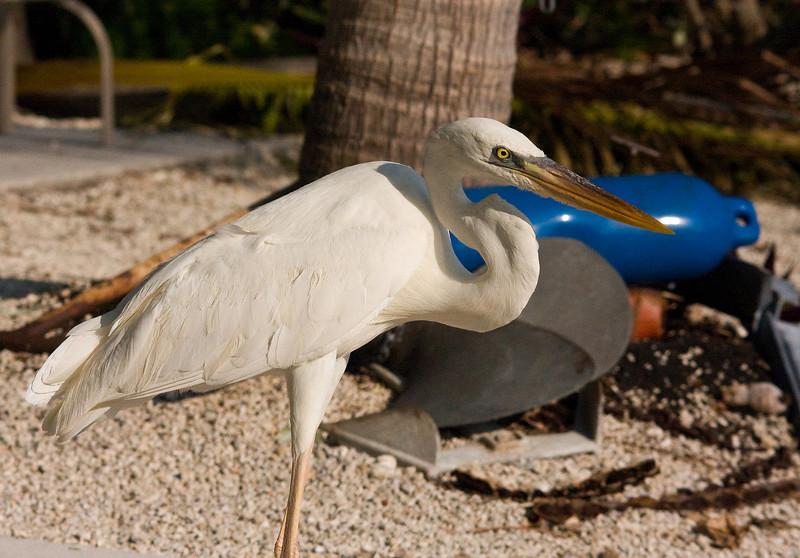 great blue heron white morph