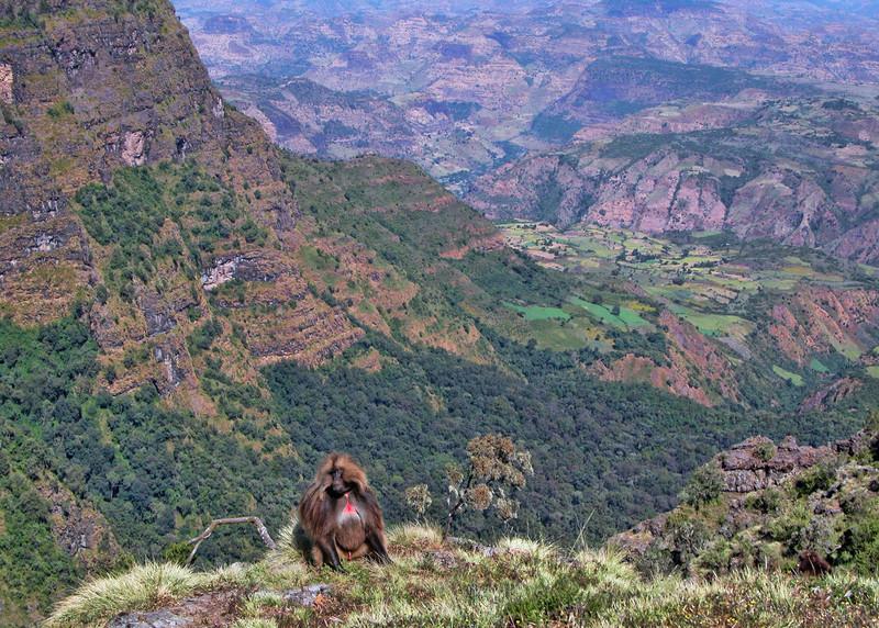 GELADA BABOON - SIMIEN MOUNTAINS