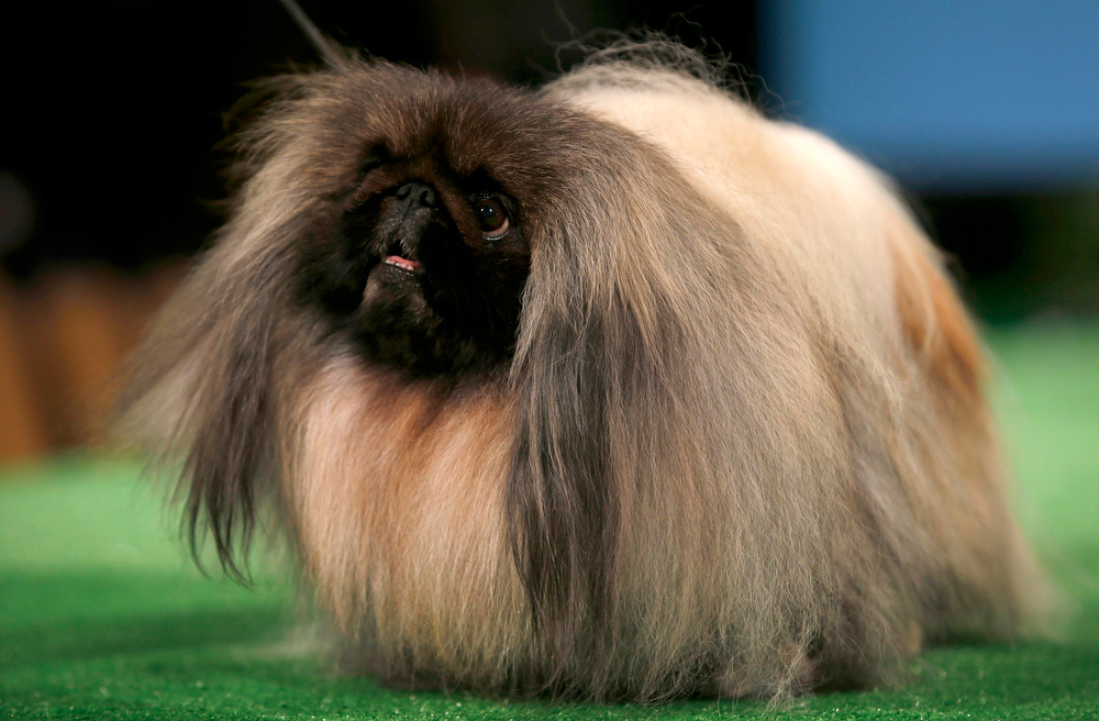 . GCH Palacegarden Malachy, a Pekingese which who won Best in Show in the 136th Westminster Kennel Cub Dog show in 2012, is introduced during a press conference ahead of the 137th Westminster Kennel Club Dog Show in New York, February 7, 2013. The 137th Westminster Kennel Club Dog Show will feature some 2,721 dogs and will be held in New York City February 11 and 12, 2013.   REUTERS/Mike Segar