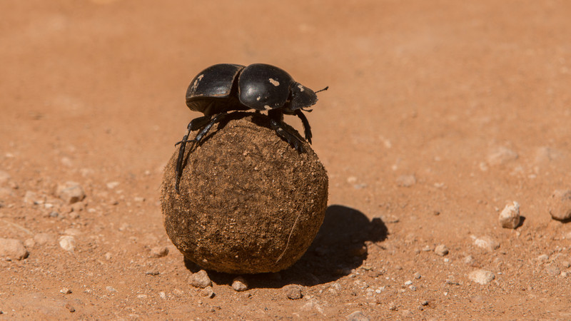 Flightless dung beetle, Circellium bacchus. Addo Elephant Park, South Africa.