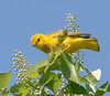 yellow warbler male cherry tree jb _DSC7814