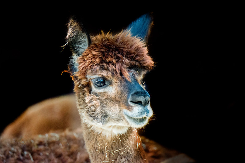 Face closeup of an alpaca