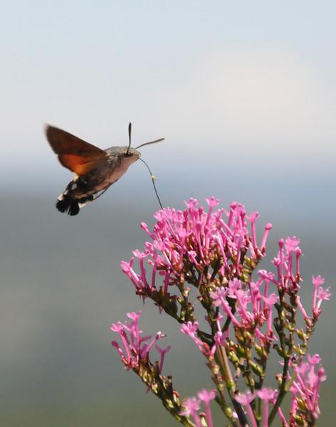 france hummingbirdmoth