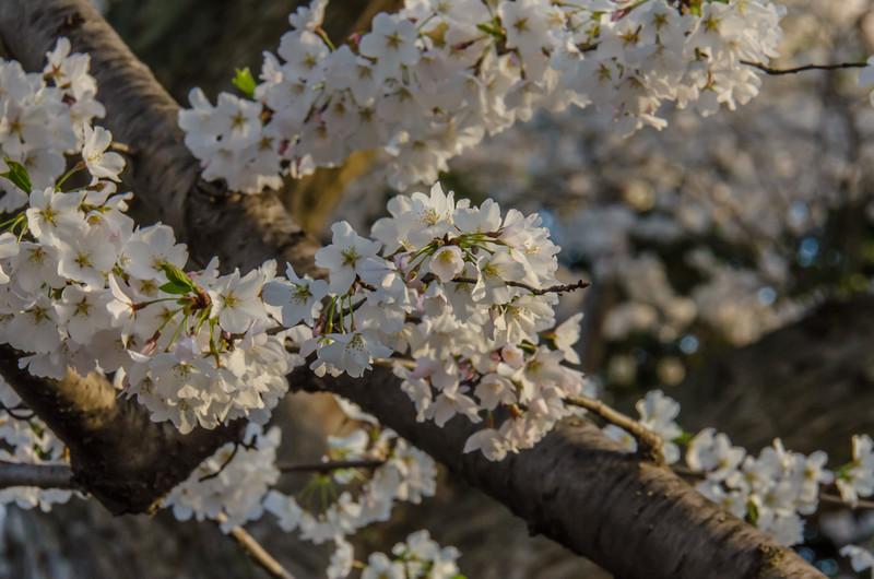 Cherry Blossom Tidal Basin Early Morning -29.jpg