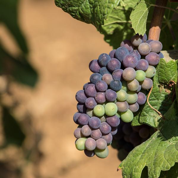 Druer i Bourgogne