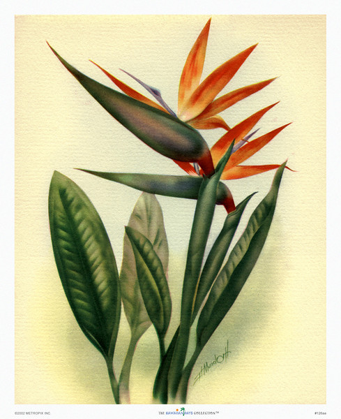 126: Ted Mundorff: 'Bird of Paradise' Art Print, ca 1940-1950. Ted Mundorff (1910-1969) designed cards for Hallmark in Los Angeles before moving to Hawaii around 1936. In Honolulu he started a career as painter, illustrator, and cartoonist. Mundorff earned respect as an artist whose floral Hawaiiana are today as widely sought after and collected as they were at the time of their creation.