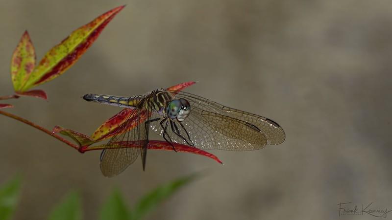Dragonfly - 01.jpg