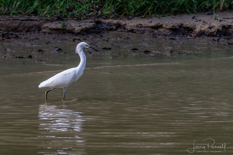 Snowy Egret - Costa Rica