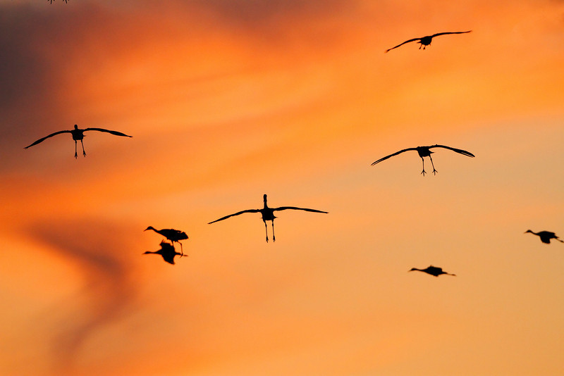 Sandhill cranes set their wings to land on the Platte River near Kearney, Nebraska