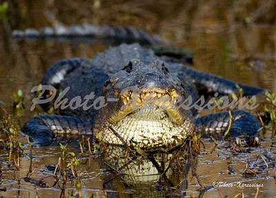 Brazos Bend State Park 1-07-2012