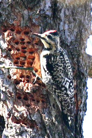 Yellow-bellied Sap Sucker (Woodpecker)