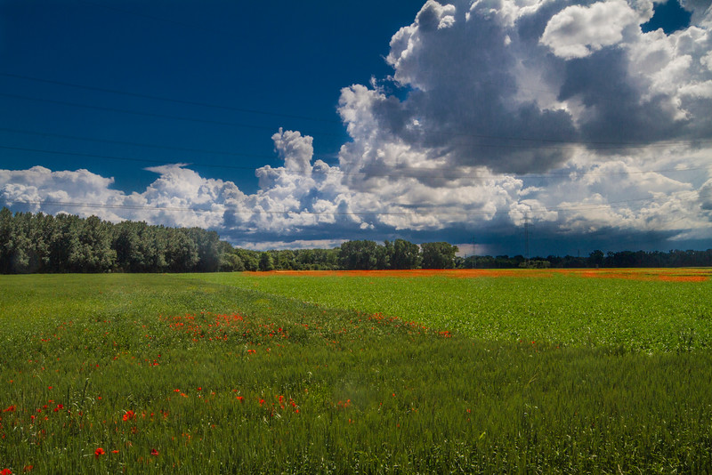 Poppies before the storm