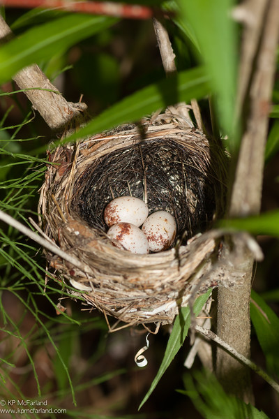 Black-throated Blue Warbler nest with eggs