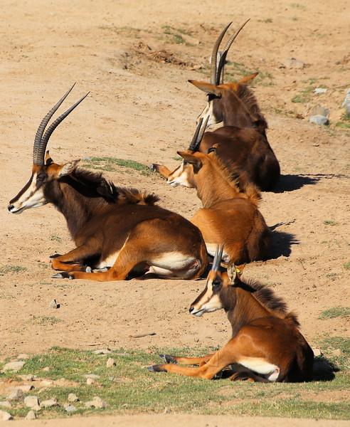 long horns brown.jpg