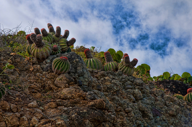A hill on Orient Beach is covered by cactus in flower.
