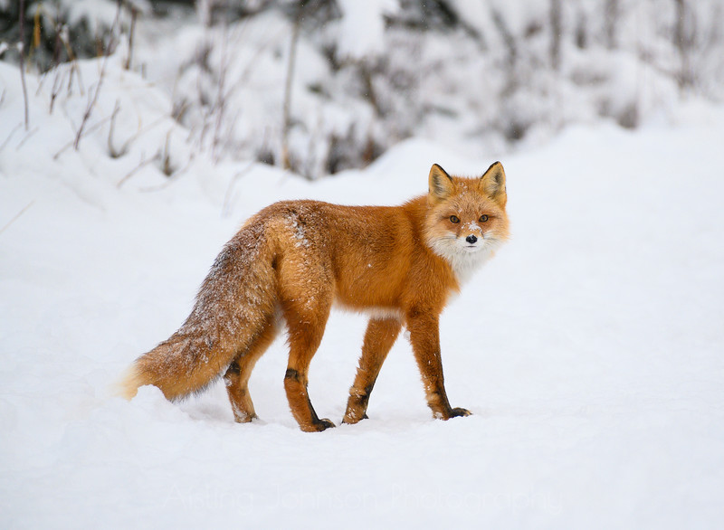 Red Fox in the Snow-13.jpg