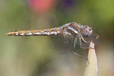 Variegated Meadowhawk (Sympetrum corruptum) --9189 560pix.jpg