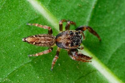 genus Breda