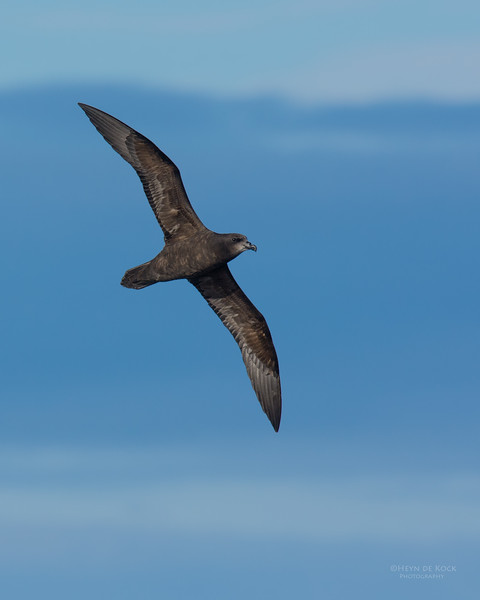 Grey-faced Petrel, Eaglehawk Neck Pelagic, TAS, July 2015-2.jpg