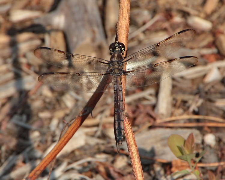 Bar-winged Skimmer, female