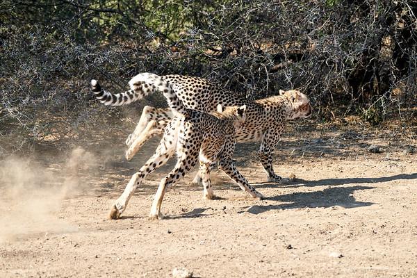 Running Cheetah Mashatu Botswana 2019