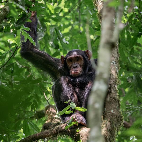 Uganda_T_Chimps-1601.jpg