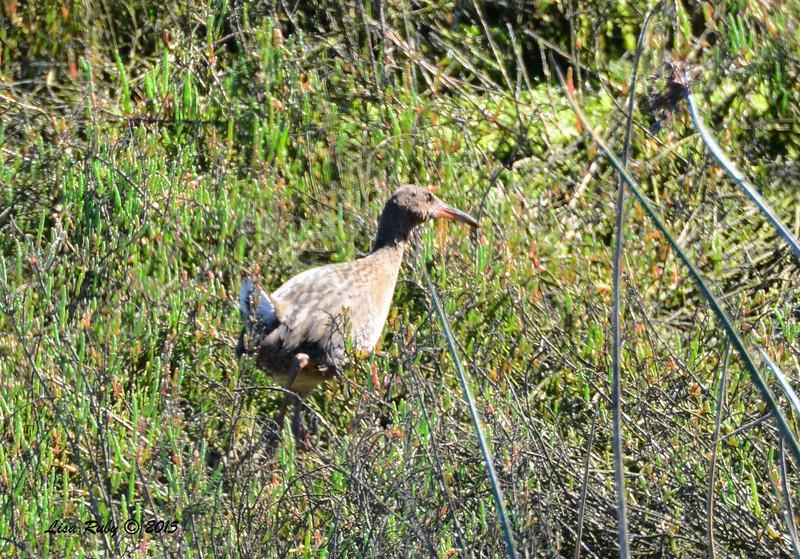 Ridgeway Rail - 3/6/2015 - San Elijo Lagoon, Ridgeway Trail