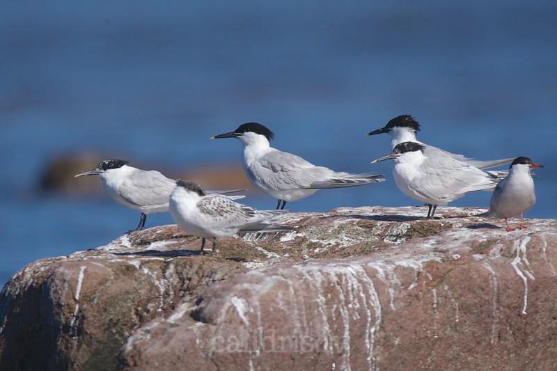 Sandwitch Terns rest on a rock / Cekulzīriņi atpūšas uz akmens