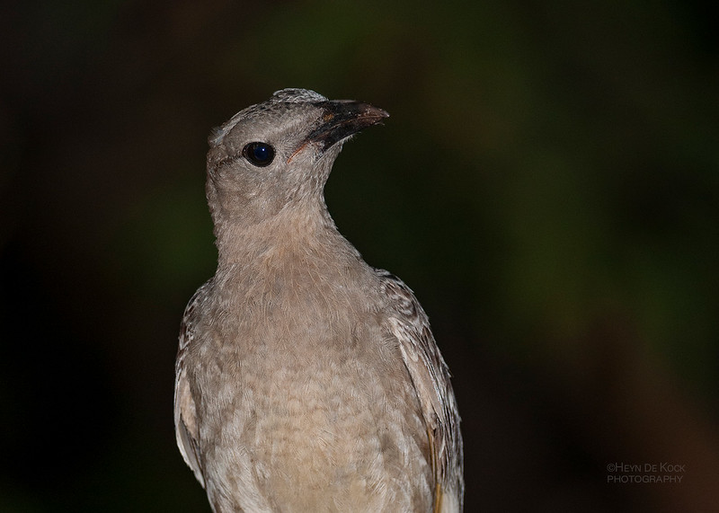 Great Bowerbird, Laura, QLD, Dec 2009a.jpg