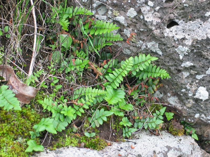 Pellaea falcata / Sickle Fern  Taken in June following rain