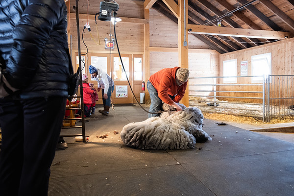 02-19-19-Sheep Shearing