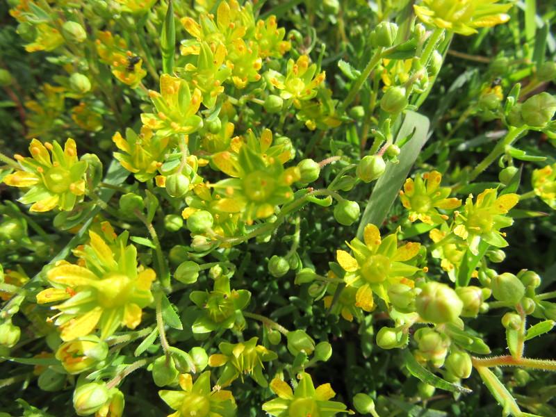 Yellow mountain saxifrage
