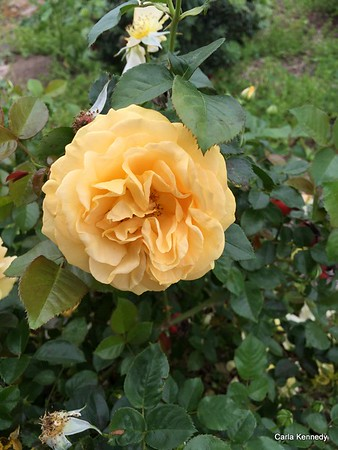2016 03-18 Yellow Rose of Texas