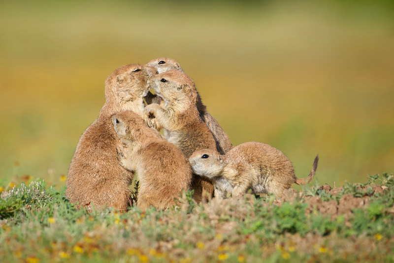 A family of Prairie Dogs in the Wichita Mountains of Oklahoma